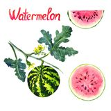 Watermelon plant with flowers, leaves, ripe watermelon and slice. Watermelon plant and slice, hand painted watercolor illustration with handwritten inscription Royalty Free Stock Photo