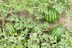 Watermelon. Plant in a vegetable garden- whole plant Stock Photography