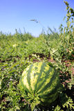 Watermelon plantation. A picture of a fresh watermelon growing on a plantation Stock Photography