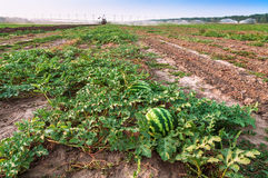 Watermelon plantation and tractor. Ripe and juicy watermelon on plantation and tractor Royalty Free Stock Photos