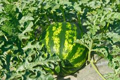 Watermelon ripens in a garden Stock Photo