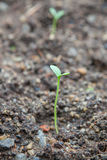 Watermelon seedling emerging from rough soil Royalty Free Stock Photography