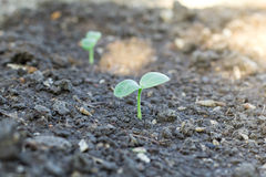 Watermelon seedlings with sunlight. At Thailand Royalty Free Stock Photography