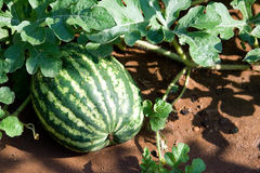 Watermelon on vine Royalty Free Stock Images