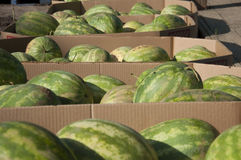Watermelons. In bins at farmers field in Chesterfield, New Jersey Royalty Free Stock Image