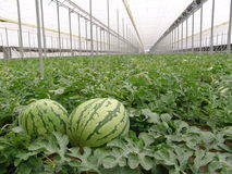 Watermelons on Almeria greenhouse. Watermelons on the plant grown in a greenhouse in Almeria Stock Image