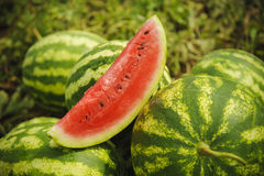 Watermelons on the field. Watermelons on the green melon field in the summer Stock Images