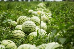 Watermelons on the field, harvesting stock images