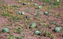 Watermelons in field Royalty Free Stock Photo
