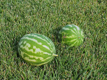 Watermelons on Green Lawn. Two ripe home grown organic watermelons, cantaloupes, on green lawn, grass Stock Photos