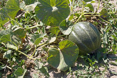 Watermelons on the green melon field Royalty Free Stock Images