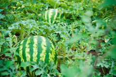 Watermelons. On the green melon field in the summer Royalty Free Stock Photography