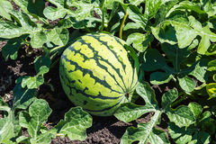 Watermelons on the green melon field Royalty Free Stock Photography