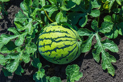 Watermelons on the green watermelon plantation Stock Photos