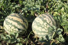 Watermelons. Growing on the vine in a garden Royalty Free Stock Images