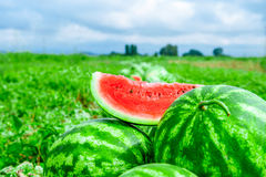 Watermelons on the melon field Royalty Free Stock Photography