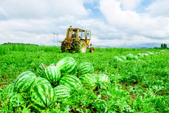 Watermelons on the melon field. Heaps of ripe watermelons on melon field in summer Royalty Free Stock Images