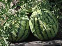 Watermelons in the summer garden royalty free stock photography