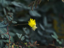 Watermimosa of Neptunia-oleracea Royalty-vrije Stock Fotografie