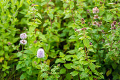 Watermint plants in the wild nature in summertime Stock Photography