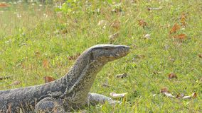 Watermonitor in openbaar park stock video