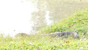 Watermonitor in openbaar park stock footage
