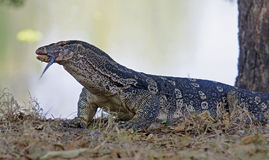 Watermonitor (Varanus-salvator) Stock Foto