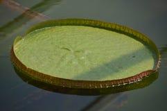 Waterplant :维多利亚Amazonica 库存照片