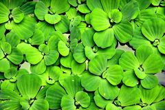 Waterplant Royalty-vrije Stock Foto's