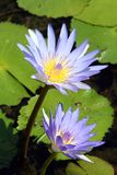 Waterplant. Plant in a river Stock Photography