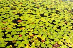 Waterplant Stock Foto's