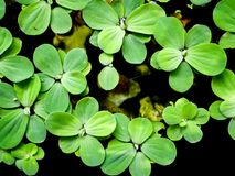 The waterplant background. The waterplant was growth on the small pond Stock Photos