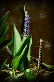 Waterplant en bloem Royalty-vrije Stock Afbeelding