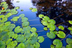 Waterplant  leafs. Waterplant leafs on water surface Royalty Free Stock Photos