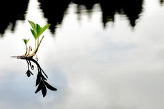 Single lonely waterplant. Waterplant in a swamp, mirroring in the water Royalty Free Stock Photo