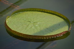Waterplant : Victoria Amazonica. Lying on the water Stock Photos