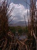 waterplanten, geel en groen in moerasland stock foto's