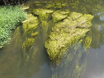 Waterplants in the Creek Royalty Free Stock Images