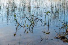 Waterplants in forest lake Stock Photography
