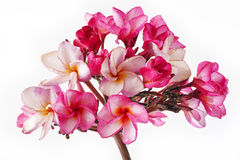 Waterproofs On Pink Plumeria Royalty Free Stock Photo