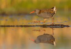 Waterral - Rallus-aquaticus Royalty-vrije Stock Foto's