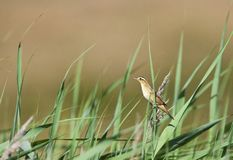 Waterrietzanger, Aquatic Warbler, Acrocephalus paludicola royalty free stock photos