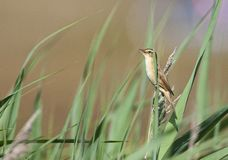 Waterrietzanger, Aquatic Warbler, Acrocephalus paludicola stock images