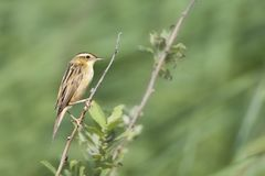 Waterrietzanger, Aquatic Warbler, Acrocephalus paludicola stock photos