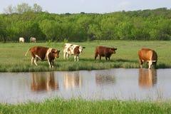 waters bydła zdjęcia stock