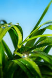 Waters drop on the grass. Drops of clear water on wet grass royalty free stock photos