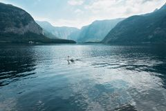 Waterscape of swan swimming in lake with lots of reflection in water and big mountains in background, Salzburg, Austria. Romantic waterscape of swan swimming in stock image