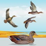 Waterscape with wild ducks stock illustration