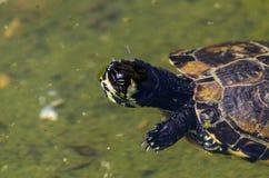 Waterschildpad in een vuile vijver in een stadspark, het wilde dierlijke leven stock foto's