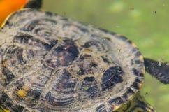 Waterschildpad in een vuile vijver in een stadspark, het wilde dierlijke leven stock afbeelding
